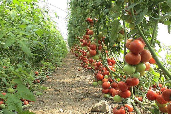 الزراعة العضوية مستقبل لصحة البشر