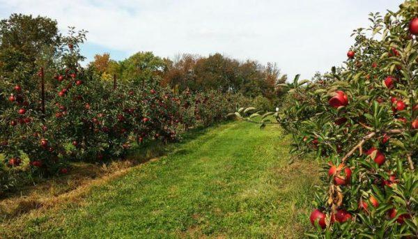 حقول التفاح في فرنسا