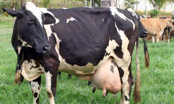 مزارع الأبقار في فرنسا
