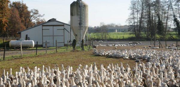 مزارع عضوية لتربية البط