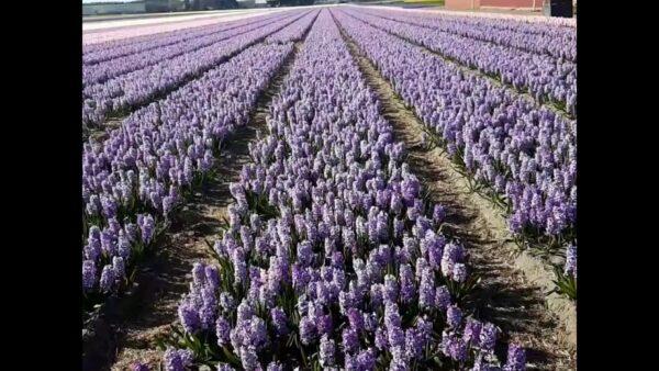 مزارع الورود فى هولندا