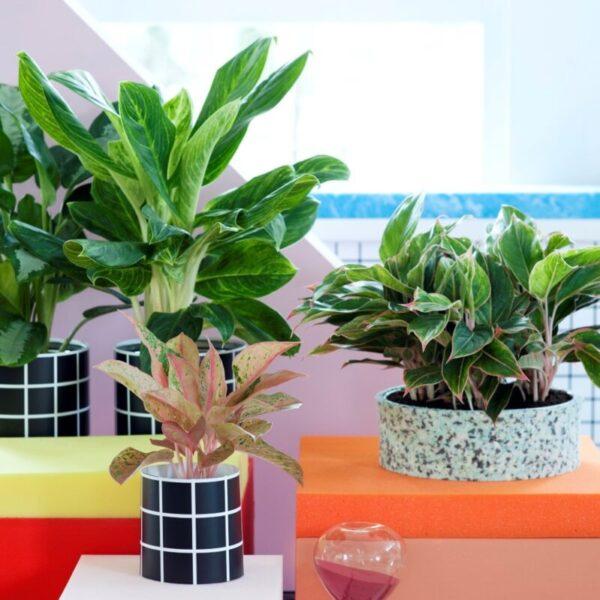 نبات decorum