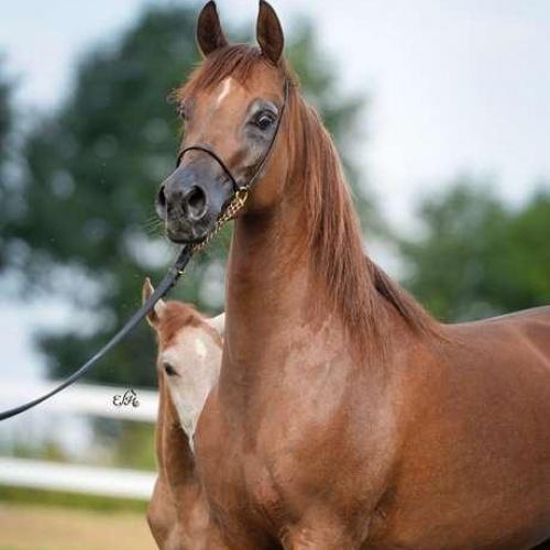 أنتوريا أفضل الخيول المستوردة من بولندا