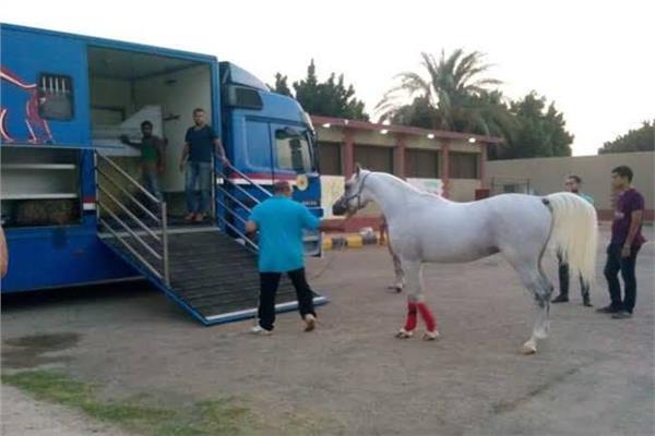 إجراءات التخليص الجمركى للخيول المستوردة