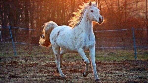 استيراد الخيول من بولندا