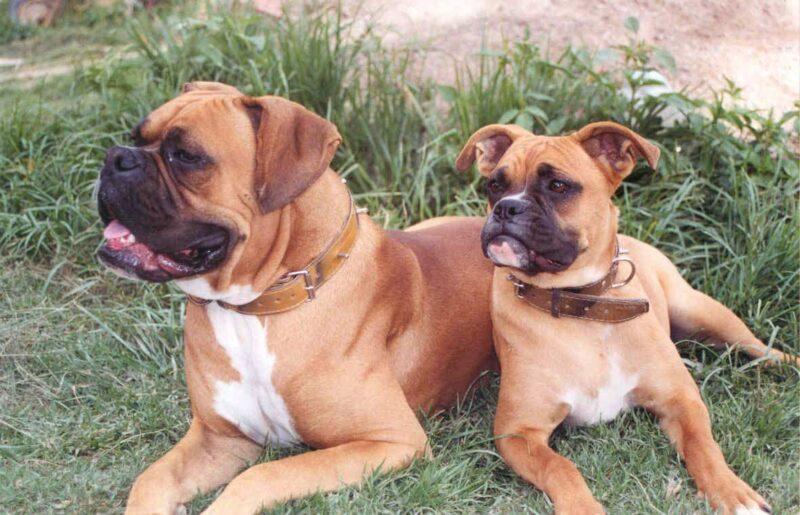 استيراد كلاب من المانيا