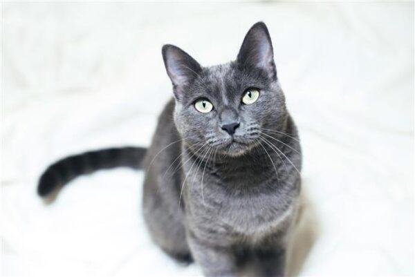 القط الروسي الأزرق أفضل أنواع القطط الروسية