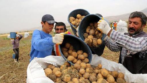 شروط استيراد البطاطس من تركيا